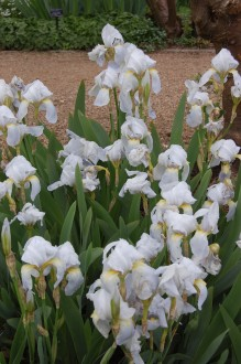 Iris 'Florentina' (05/05/2012, Kew Gardens, London)