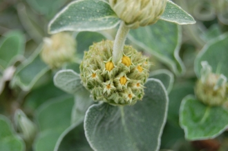Phlomis fruticosa Flower Buds (05/05/2012, Kew, London)