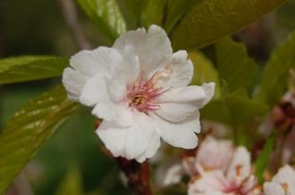 Prunus serrulata 'Amanogawa' Flower (05/05/2012, Kew Gardens, London)