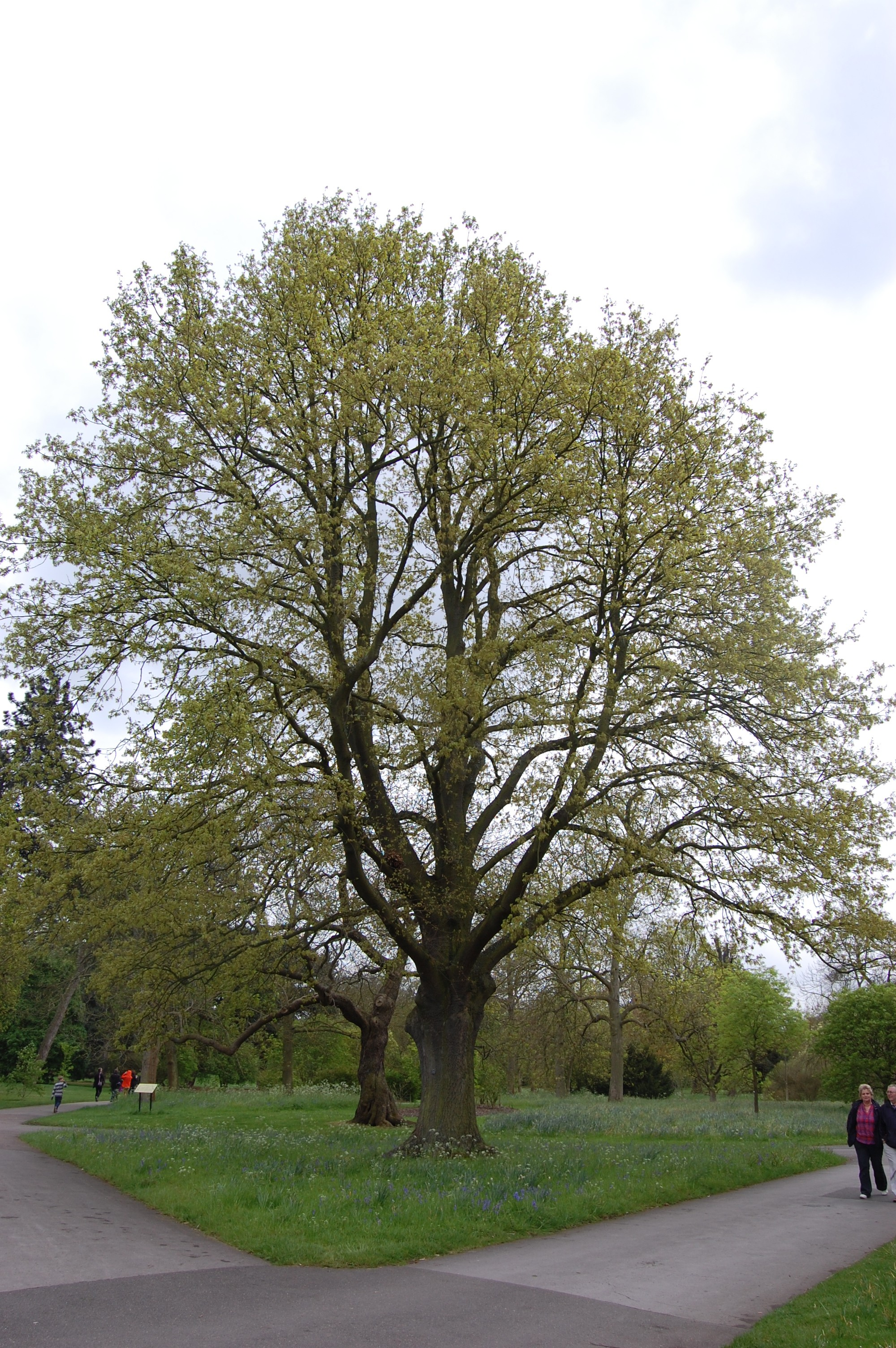 Species Profile Cork Oak Quercus suber  Rainforest