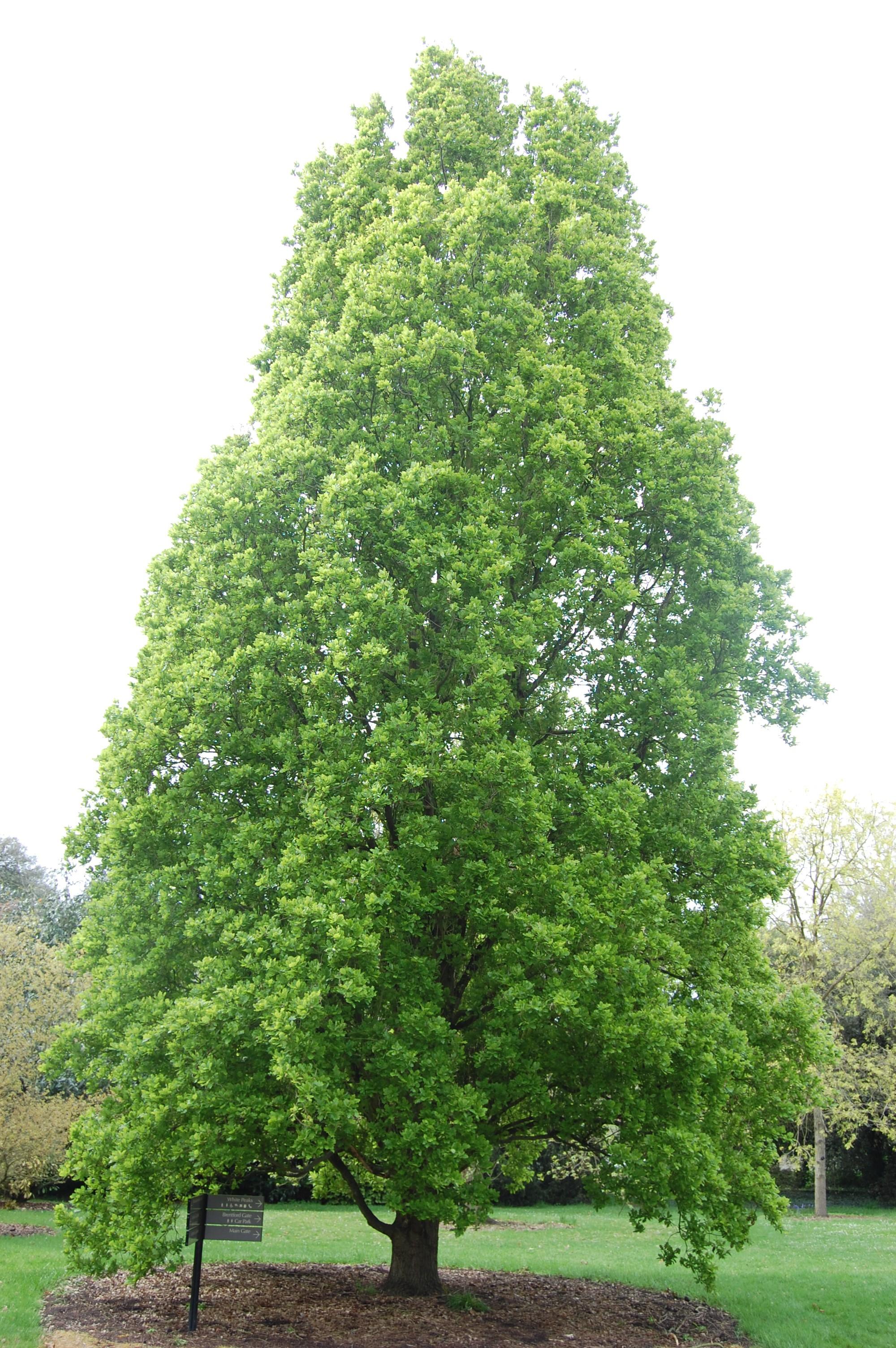 Quercus robur 'Fastigiata'   landscape architect's pages