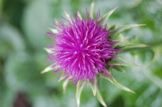 Silybum marianum Flower (05/05/2012, Kew, London)