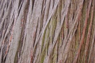 Swamp Cypress Bark (05/05/2012, Kew, London)