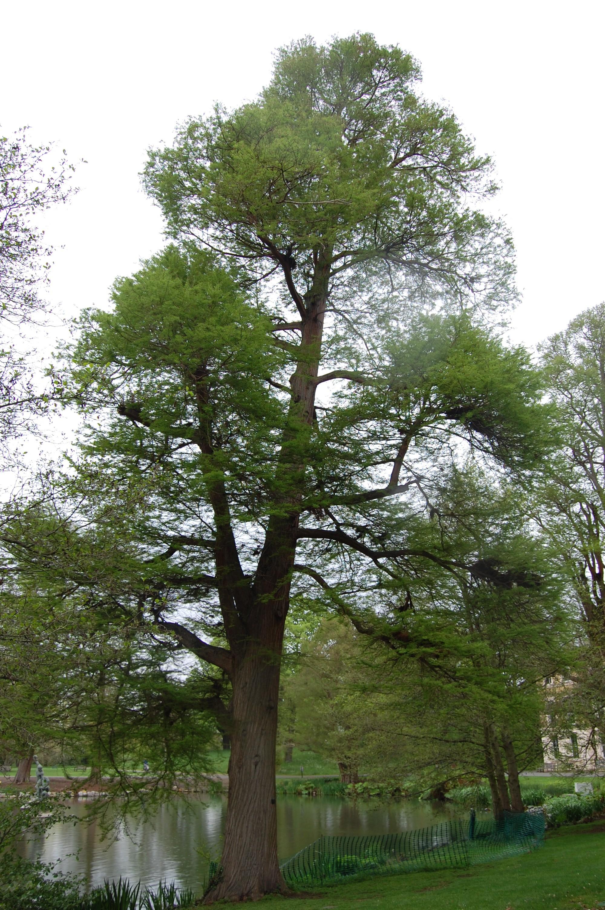 Taxodium Distichum Landscape Architect S Pages