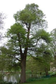 Swamp Cypress (05/05/2012, Kew, London)