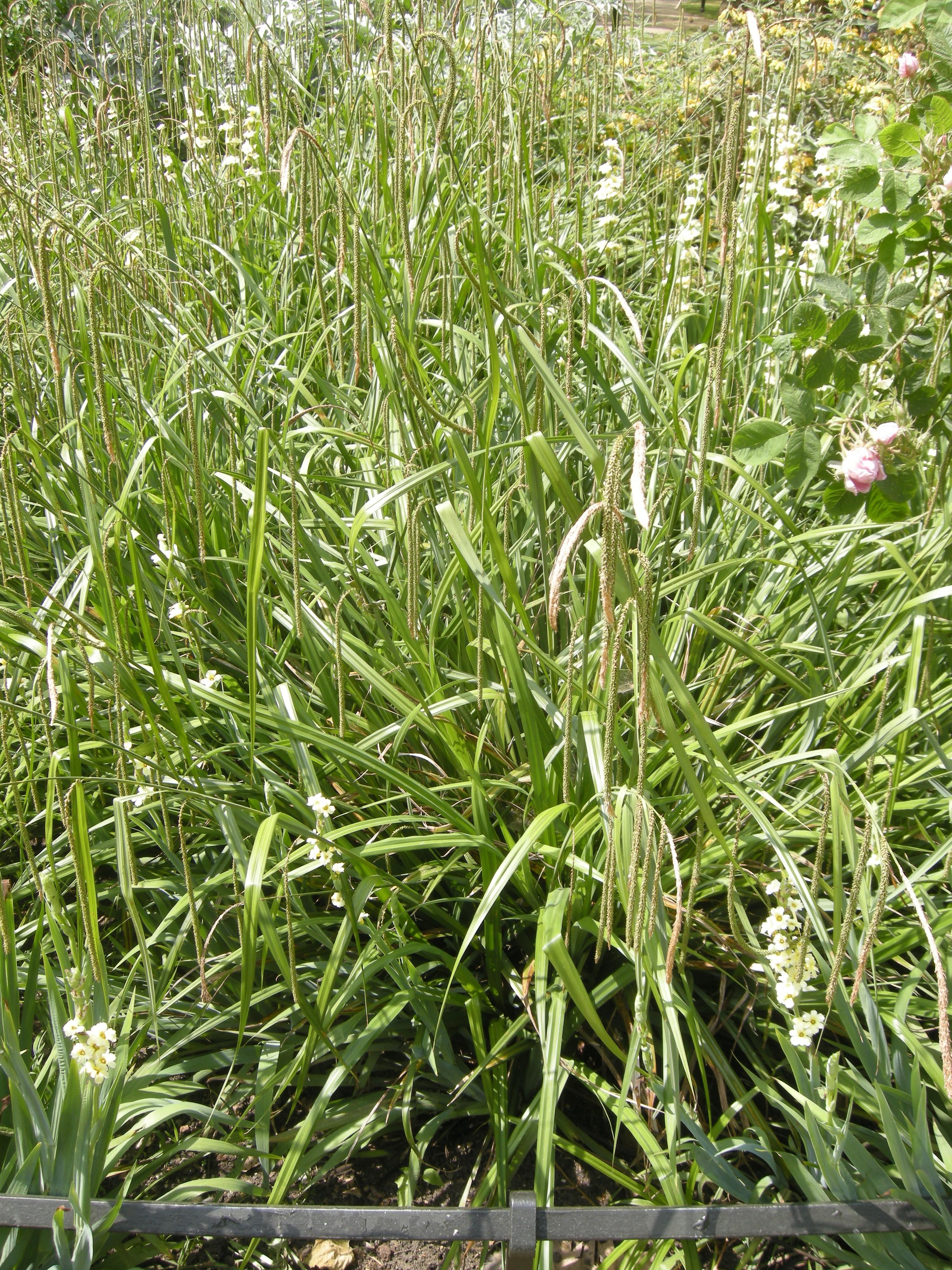 6 Carex Pendula Pendulous Weeping Sedge Ornamental Grasses Pond Grass Plants