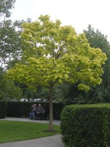 Catalpa bignonioides 'Aurea' (17/06/2012, London)