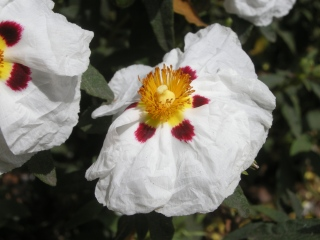 Cistus ladanifer Flower (30/05/2012, London)