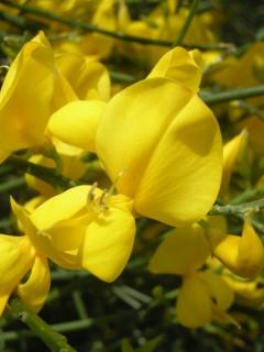 Cytisus scoparius Flower (30/05/2012, London)