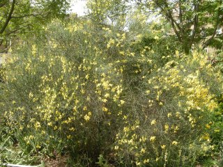Cytisus scoparius (30/05/2012, London)