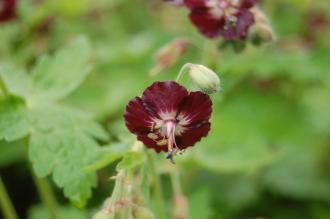 Geranium phaeum Flower (05/05/2012, Kew Gardens, London)