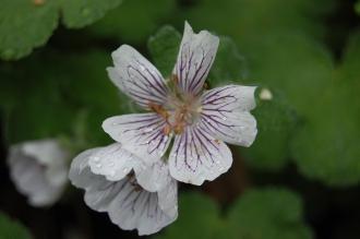 Geranium renardii Flower (05/05/2012, Kew Gardens, London)