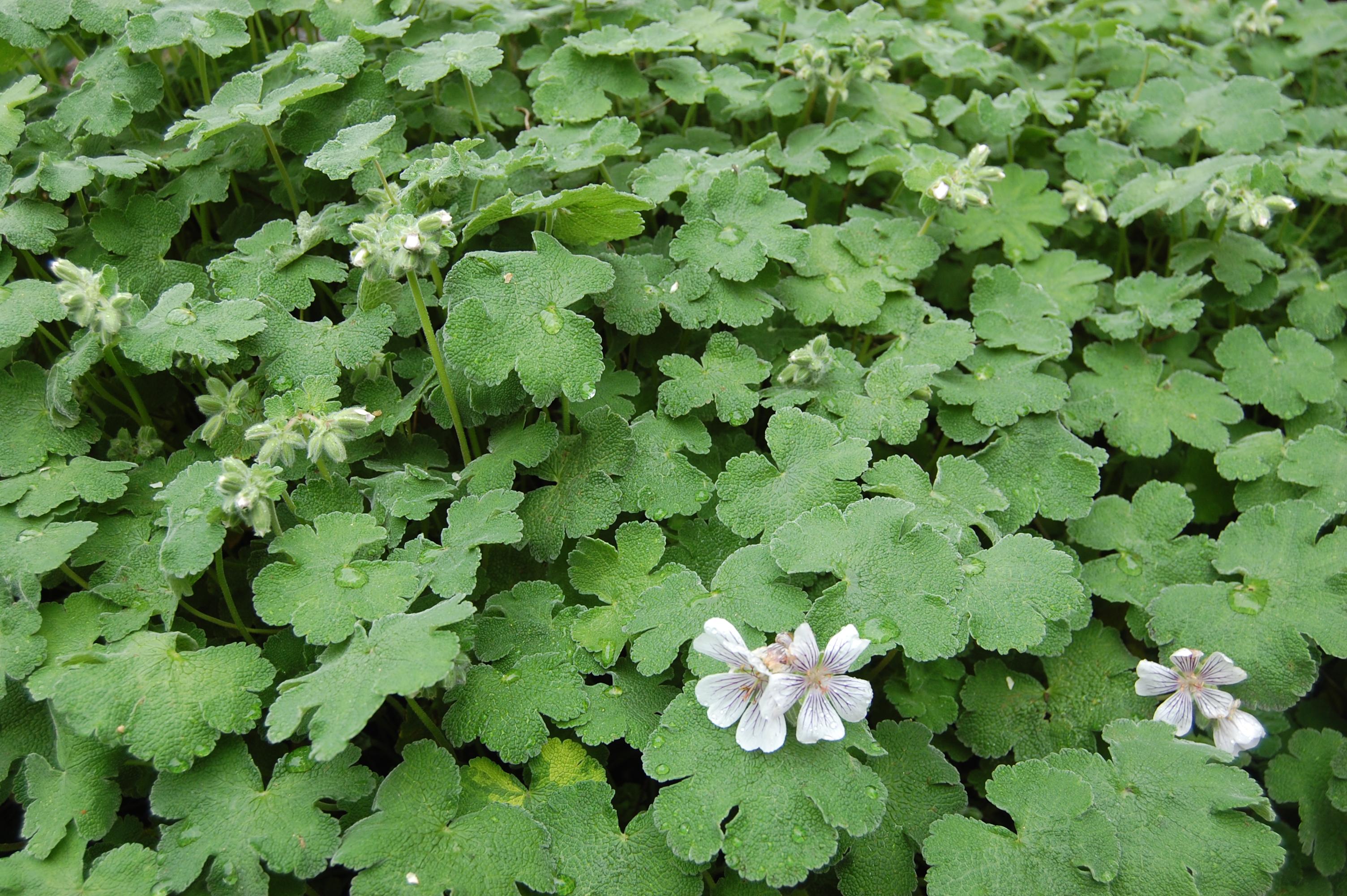 Geranium renardii (05/05/2012, Kew Gardens, London)