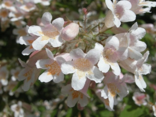 Kolkwitzia amabilis Flower (18/05/2012, Prague, Czech Republic)