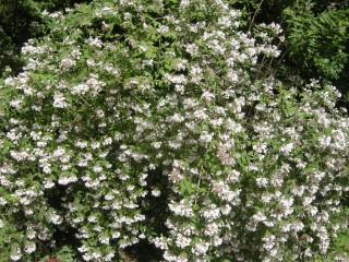 Kolkwitzia amabilis (18/05/2012, Prague, Czech Republic)
