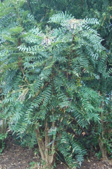 Mahonia lomariifolia (05/05/2012, kew Gardens, London)