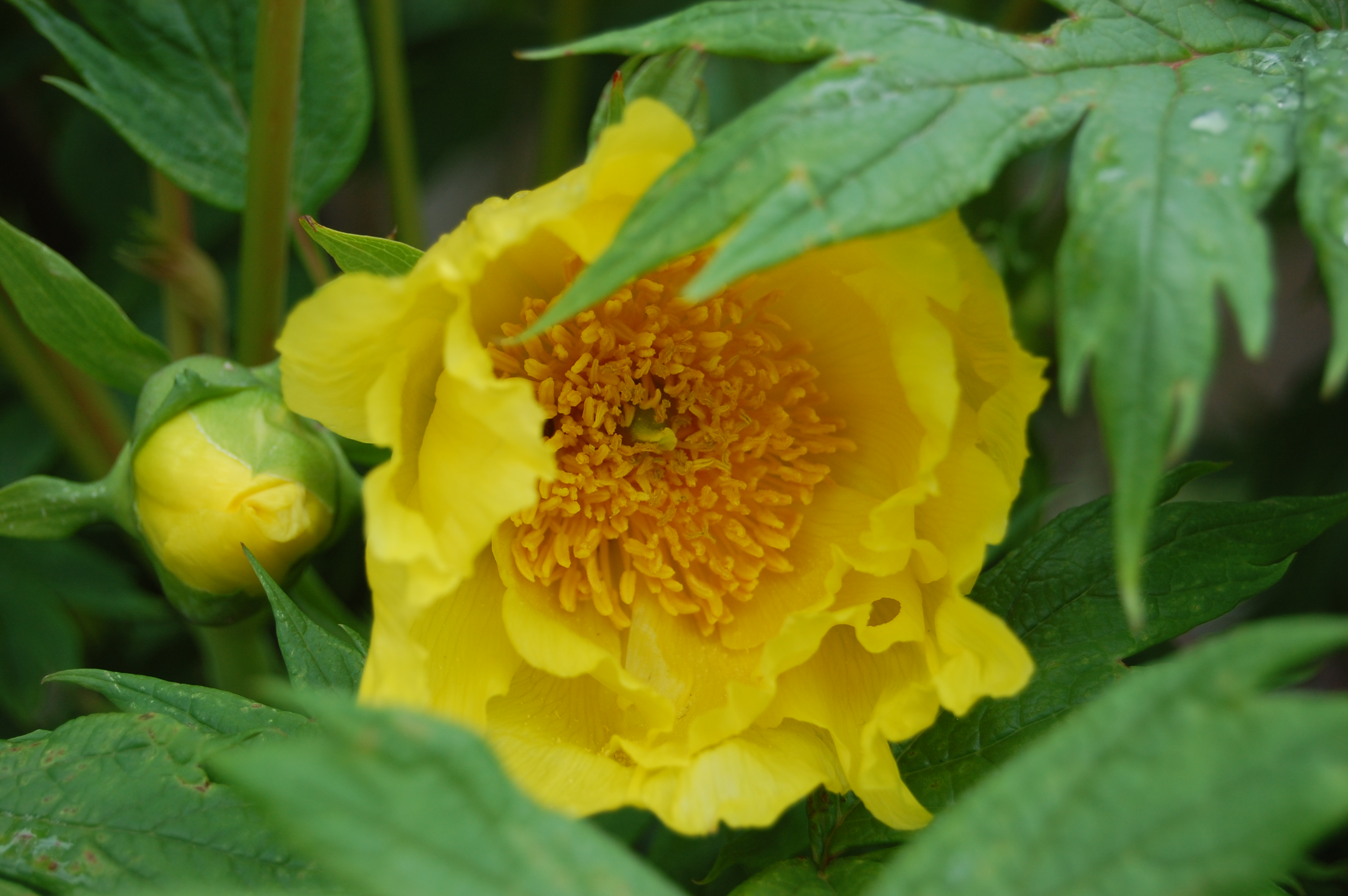 Yellow Tree Peony Landscape Architects Pages