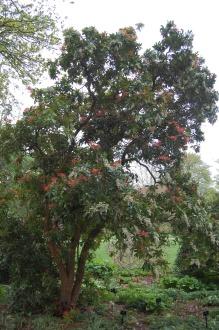 Pieris formosa var. forrestii 'Wakehurst' (05/05/2012, Kew Gardens, London)
