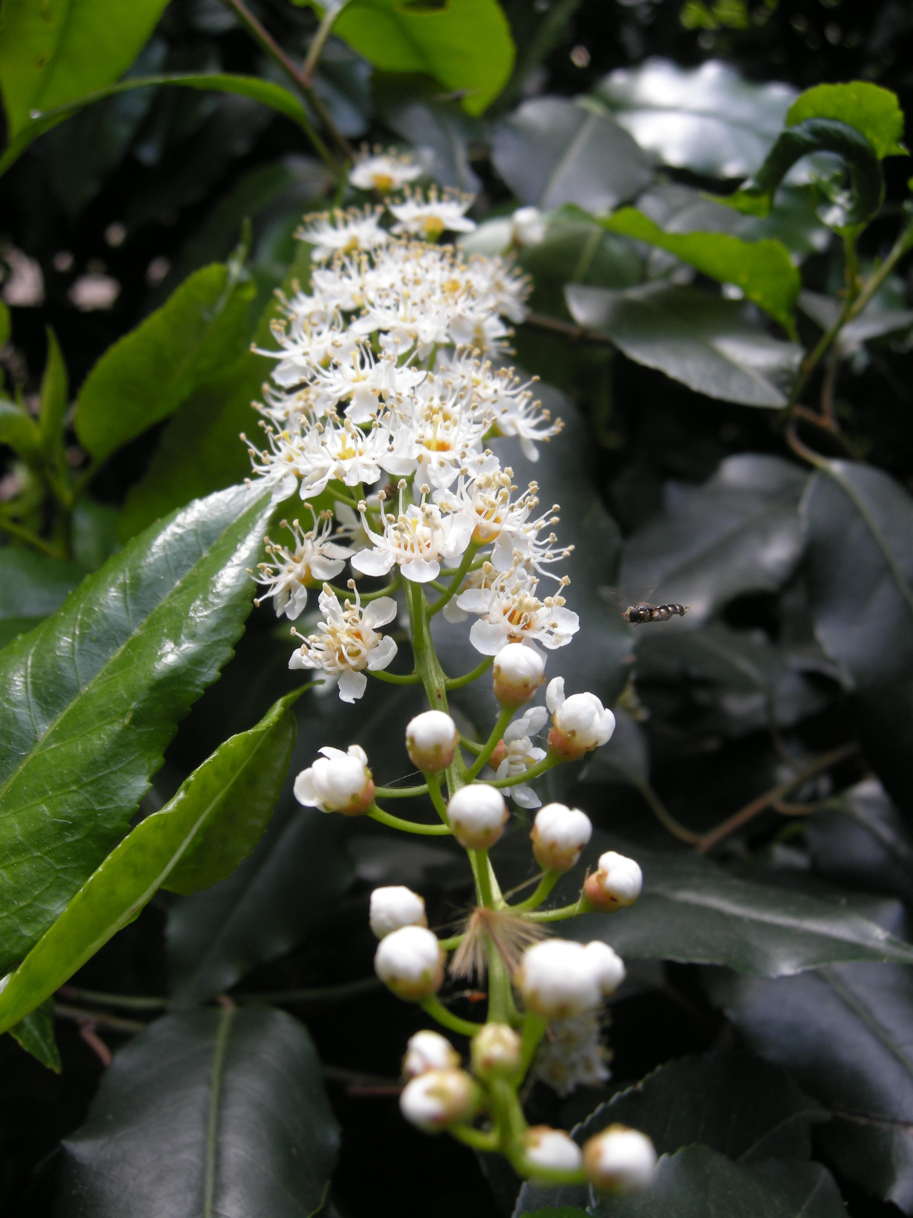 Rare Species Of Birds Prunus lusitanica | la...