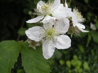 Rubus fruticosus Flower (27/06/2012, Cambridge)