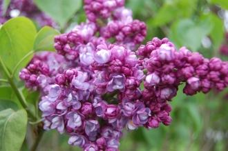 Syringa vulgaris 'Komsomolka' Flower (05/05/2012, Kew Gardens, London)