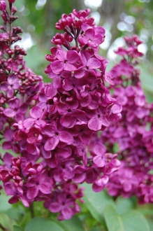 Syringa vulgaris 'Ogni Moskvy' Flower (05/05/2012, Kew Gardens, London)