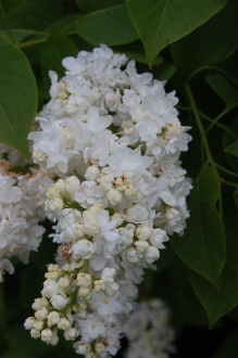 Syringa vulgaris 'Sovetskaya Arctika' Flower (05/05/2012, Kew Gardens, London)