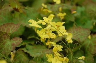 Epimedium perralderianum Flower (05/05/2012, Kew Gardens, London)