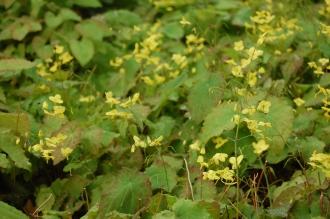 Epimedium perralderianum (05/05/2012, Kew Gardens, London)