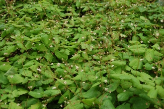 Epimedium pubigerum (05/05/2012, Kew Gardens, London)