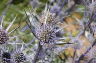 Eryngium bourgatii Flower (30/06/2012, Kew Gardens, London)