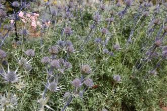 Eryngium bourgatii (30/06/2012, Kew Gardens, London)