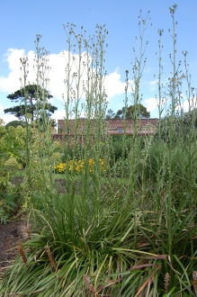 Eryngium yuccifolium (30/06/2012, Kew Gardens, London)