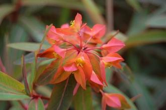 Euphorbia griffithii 'Fireglow' Flower (05/05/2012, Kew Gardens, London)
