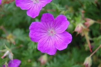 Cransebill Flower (30/06/2012, Kew Gardens, London)