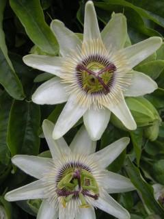 Passiflora caerulea 'White Lightning' Flower (07/07/2012, London)