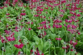 Primula pulverulenta (05/05/2012, Kew Gardens, London)