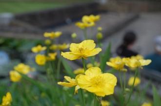 Ranunculus lingua Flower (30/06/2012, Kew Gardens, London)
