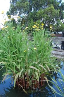 Ranunculus lingua (30/06/2012, Kew Gardens, London)