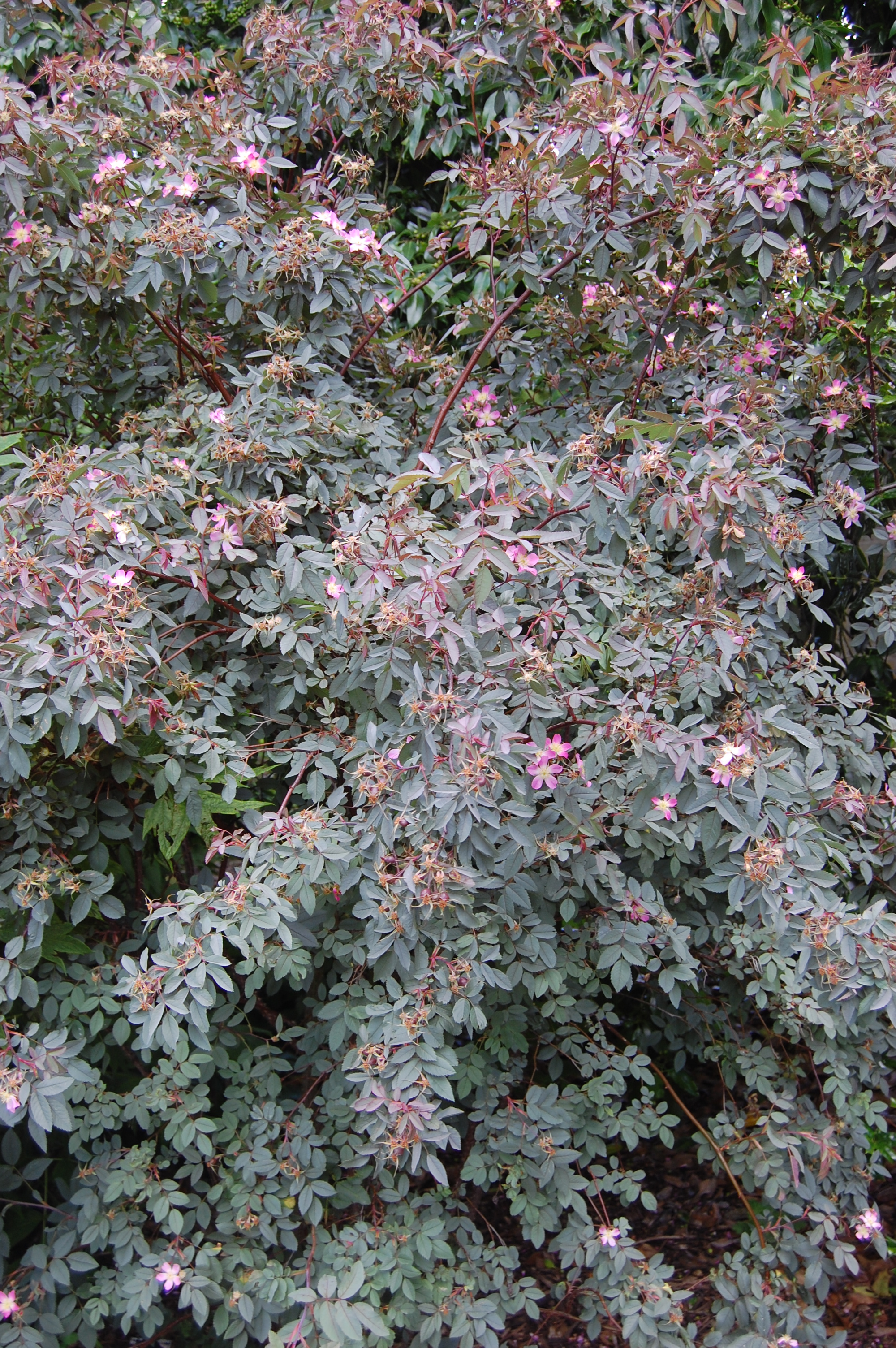 drought map with Plant Of The Week Rosa Glauca on Heuchera Rachel furthermore 6337354001 also Rock Springs 201612 likewise Plant Of The Week Rosa Glauca besides Mother Of Millions.